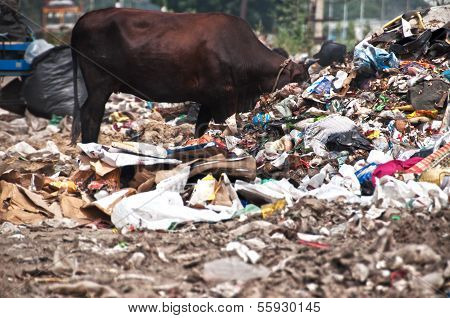 Cow and buffalos eating trash from illegal landfill