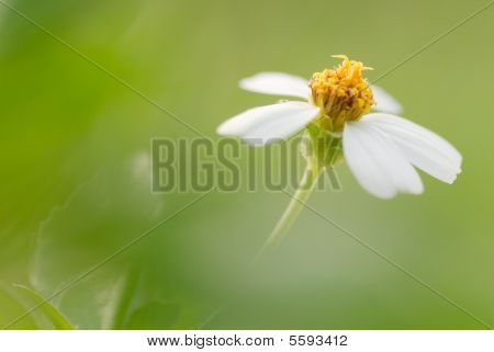 Flower Of Bidens