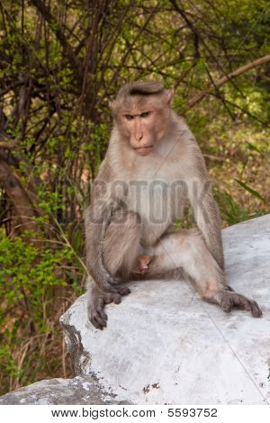 Male Bonnet Macaque