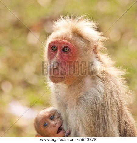 Bonnet Macaque Nursing