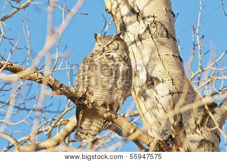 The Great Horned Owl (bubo Virginianus)
