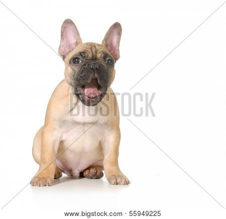expressive puppy - french bulldog with surprised expression - 4 months old isolated on white background