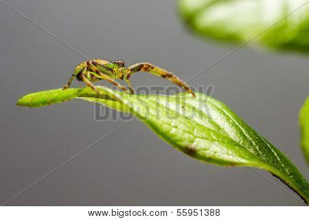 The Green Crab Spider (Diaea dorsata)