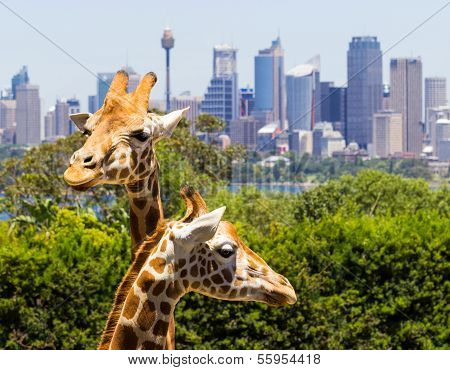 Giraffes With A Fabulous View Of Sydney