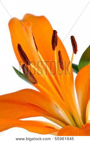 Orange Lily flower Isolated