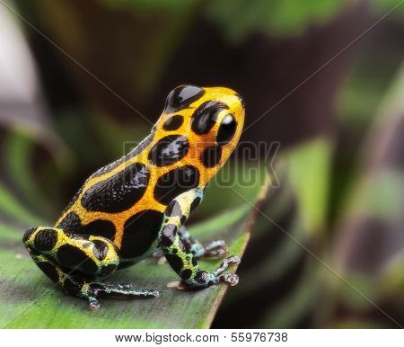 poison arrow frog on leaf in Amazon rain forest. Poison dart frog Ranitomeya imitator from Jungle in Peru. Tropical exotic pet animal. Cute amphibian kept as a tropical and exotic pet in a terrarium.