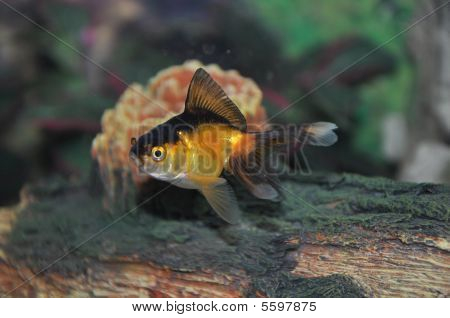 Fan Tailed Goldfish Swimming
