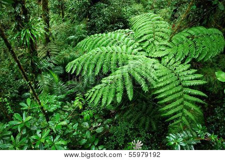 Fern tree in Cloud forest