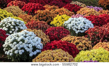 Chrysanthemums Of Various Colors