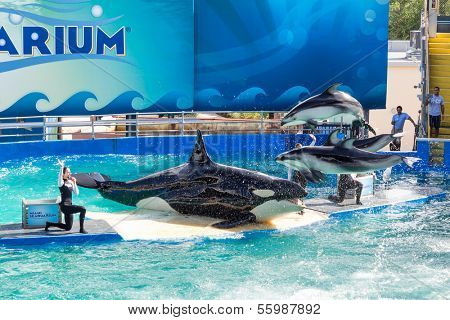 MIAMI,US - DECEMBER 8, 2013:Lolita,the killer whale at the Miami Seaquarium.Founded in 1955,the oldest oceanarium in the United States,the facility receives over 500,000 visitors annually