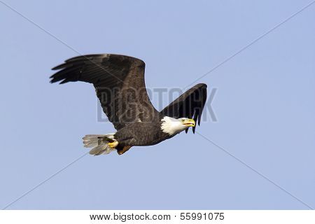 Eagle Flies With Fish.