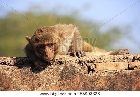 Rhesus Macaque Laying At Taragarh Fort, Bundi, India