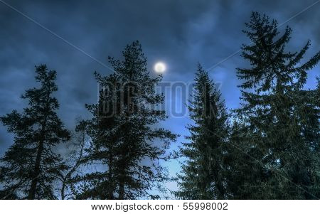 Pines At Night In The Woods. Moon Night