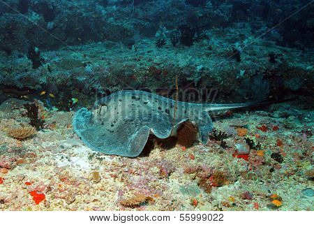 Black-blotched Stingray