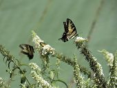 image of butterfly-bush  - Yellow butterflies on butterfly bush against green roof background - JPG