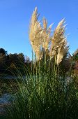 picture of pampa  - Large pampas grass plant on the bank of a lake.