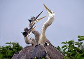 stock photo of wetland  - Great Blue Herons in the nest located in the wetlands of south Florida - JPG