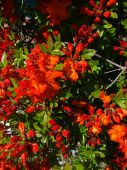 Bright Red Azalea poster