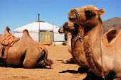 foto of mongolian  - Camels sitting down in front of a yurt in the Mongolian Gobi desert - JPG