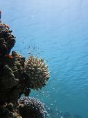 foto of damselfish  - Acropora coral and small damselfish on blue water background - JPG
