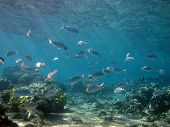 stock photo of mullet  - Mullets and mojarras over a shallow coral reef - JPG