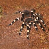 stock photo of terrarium  - Spider Tarantula Acanthoscurria geniculata in a terrarium - JPG