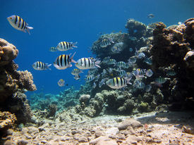 picture of sergeant major  - A shoal of sergeant major damselfish in lagoon