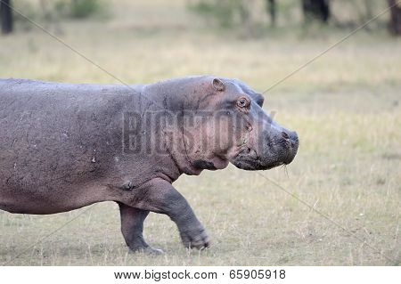 Hippo walking on grass.