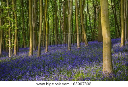 Ancient bluebell woods in Oxfordshire