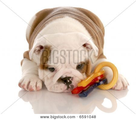 English Bulldog Puppy Playing With Toy