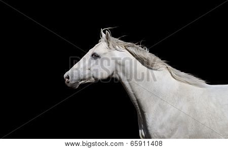White English thoroughbred horse on a black background