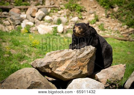 Eastern American Black Bear Lying On Rocks