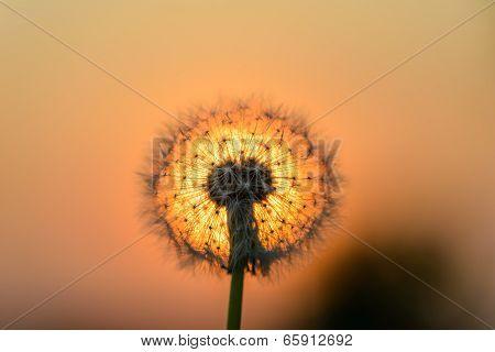 Dandelion Flower In The Sun
