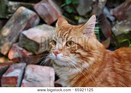 Beauty Red Cat