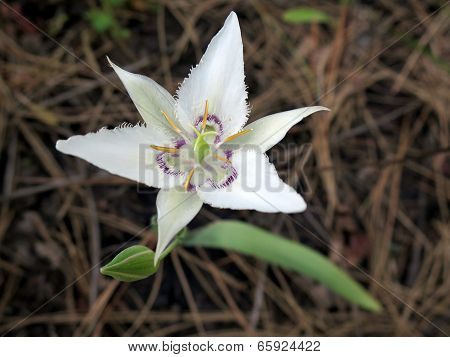 Lyall's Mariposa Lily - Calochortus Iyalllii