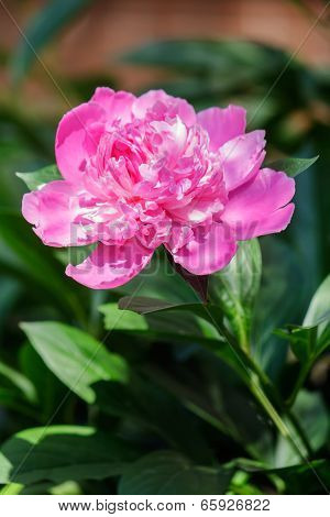 Fresh Pink Peony Flower Closeup