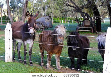 Barossa Valley, South Australia – May 29, 2014: Donkey And Shetland Ponies Waiting For Visitors At E