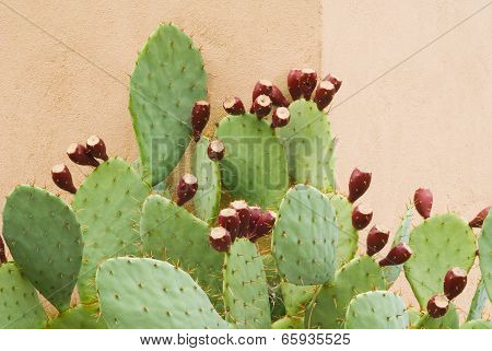 Prickly Pear With Fruit Against Wall