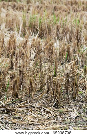 Straw rice after harvest .