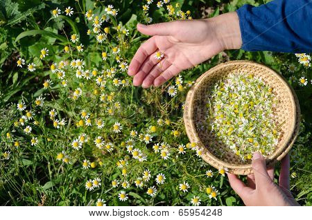 Hand Picking Chamomile Herbal Flower Blooms