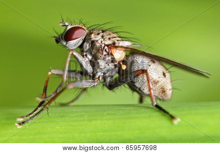 Diptera (Phaonia spp.)