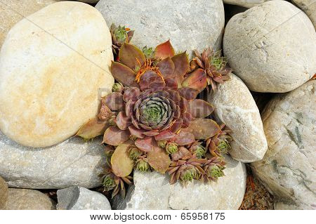 Plant Houseleeks Among The Rocks