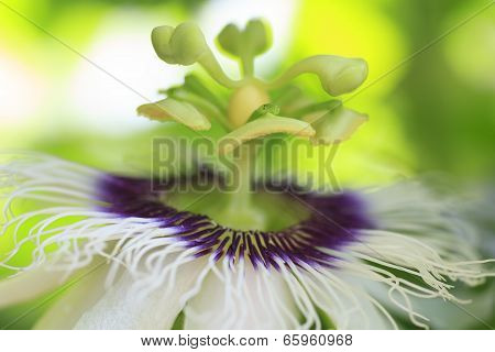 Macro Detailed Of A Passion Fruit Flower