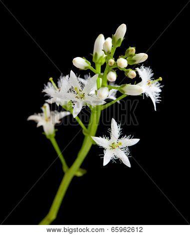 Bog Bean Flowering