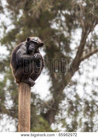 Chimpanzee Sitting On A Pole
