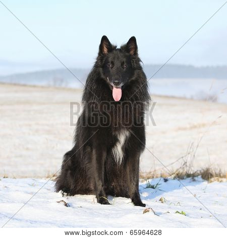 Beautiful Chien De Berger Belge In Winter