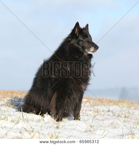 Beautiful Chien De Berger Belge In Winter