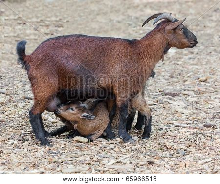 Goat Feed Their Young Cubs