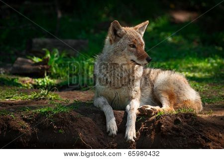 American Coyote Lying Down Close Up