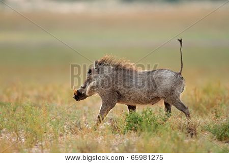 Warthog (Phacochoerus africanus) running with upright tail, South Africa